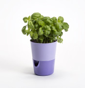 Flower pot Rosmarin violet