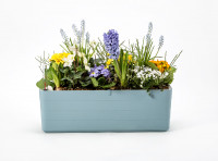 Flower box Berberis blue white